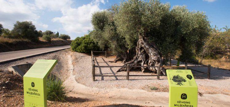 La Diputación favorece la protección y conservación de los 198 arboles monumentales de la provincia