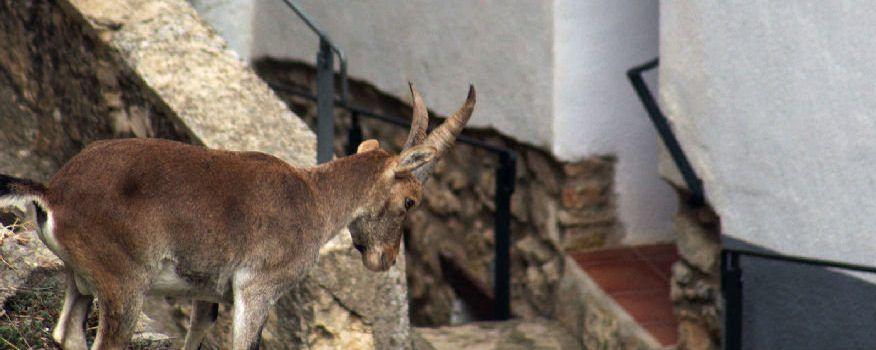 """""""Fent la cabra"""" per dins del poble"""