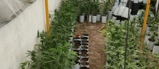 Desmantellada una plantació de cannabis en la calle R.Maria Molas de Vinaròs