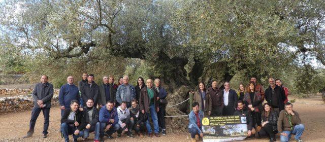 Bona collita 2017 de les oliveres mil·lenàries