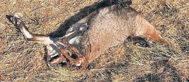 Cazada y decapitada por furtivos una cabra hispánica en Els Ports