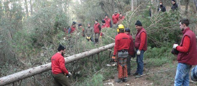 Forcall inicia els preparatius de la Santantonà amb la tala del maio