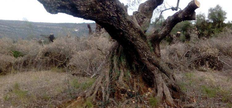Denuncien la preparació per a ser arrencades d'oliveres mil·lenàries a Ulldecona