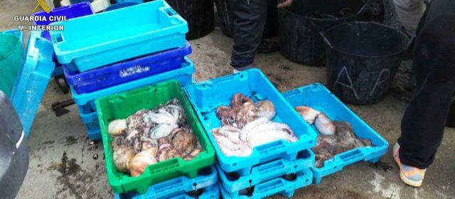 Intervenidos 131 kilos de pulpo para la venta, sin cumplir los controles sanitarios y de trazabilidad exigidos.