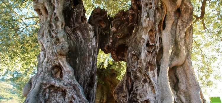 Augmenta l'interés per visitar les oliveres mil·lenàries