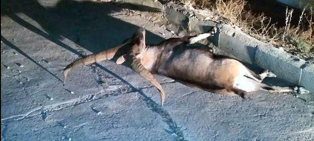El emblemático macho montés de Morella muere atropellado
