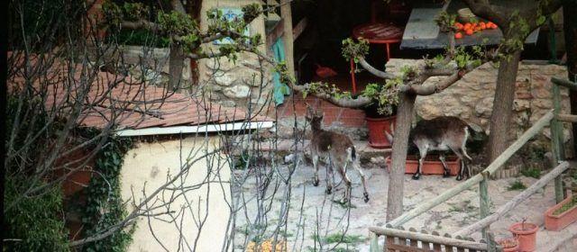 """Las cabras hispánicas """"asaltan"""" las poblaciones de la Tinença"""
