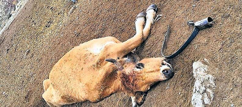 Los ganaderos proponen proponen dejar los animales muertos en el monte para que no ataquen a los vivos