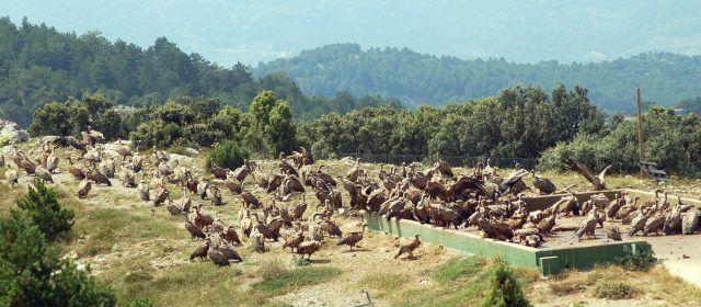 """Los ataques de buitres a ganado vivo son """"excepcionales"""" según Agricultura"""