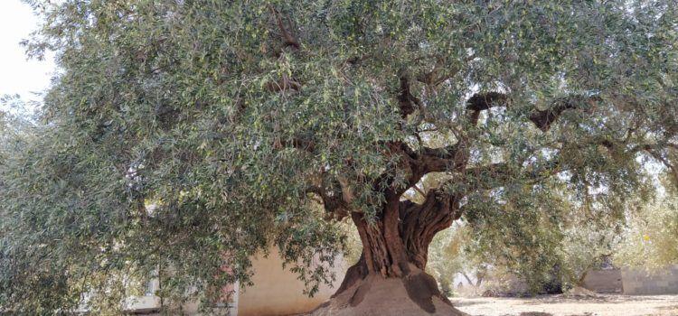 Marca Garantia Oli Farga Mil·lenària: una olivera bat el rècord, amb 279 kg. d'olives