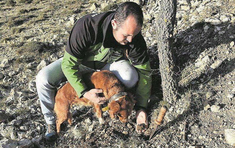 La escasa producción por la falta de lluvias disparará la trufa a los 1.000 euros el kilo