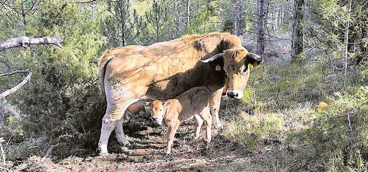 Un GPS salva en Morella la vida de una vaca y su ternero