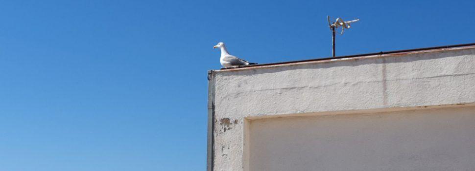 Vídeos: les gavines freqüenten els terrats