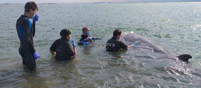 Hallado muerto un ballenato de Cuvier, al parecer el visto en aguas de Vinaròs y el Delta de l'Ebre