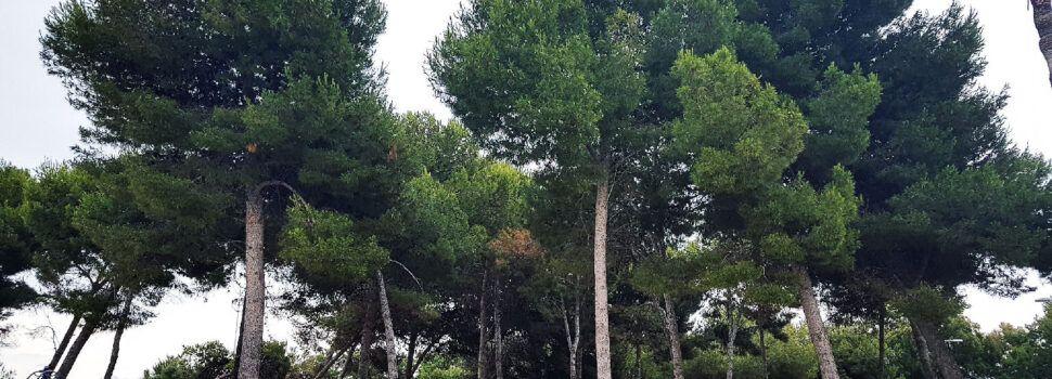 La transformación del bosque mediterráneo de Fora Forat de Vinaròs
