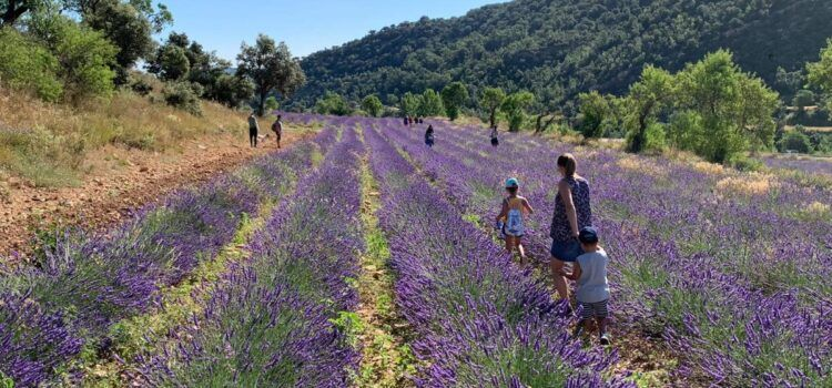 Buena temporada para las plantas aromáticas y mala para el cereal en Els Ports