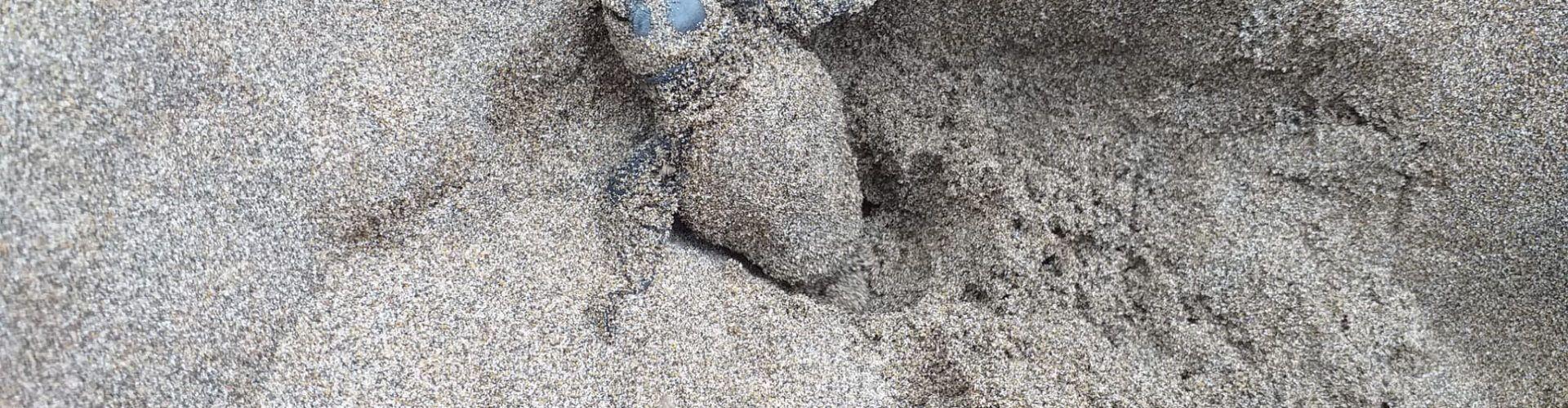 Localitzat el quart niu de tortuga careta de l'estiu al delta de l'Ebre, amb entre 88 i 103 ous