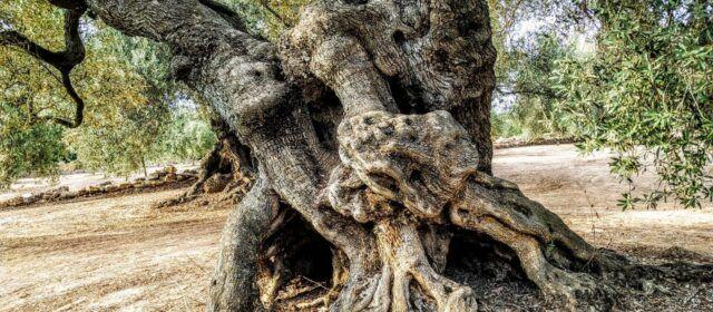 Fotos: Oliveres mil·lenàries de l'Arion, a Ulldecona