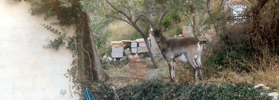 """Nova """"visiteta"""" de cabres salvatges a Vallibona"""