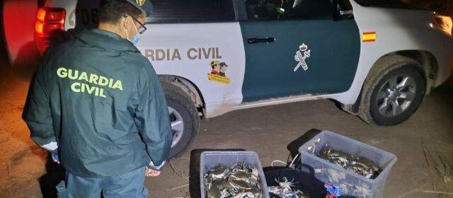 La Guardia Civil interviene más de 450 ejemplares de cangrejo azul vivos en l'Ampolla