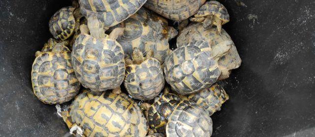 Comissem al Baix Ebre 20 exemplars de tortugues de terra mediterrànies