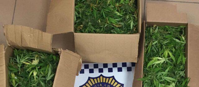 Imputats a Vinaròs per tinença de plantes de marihuana
