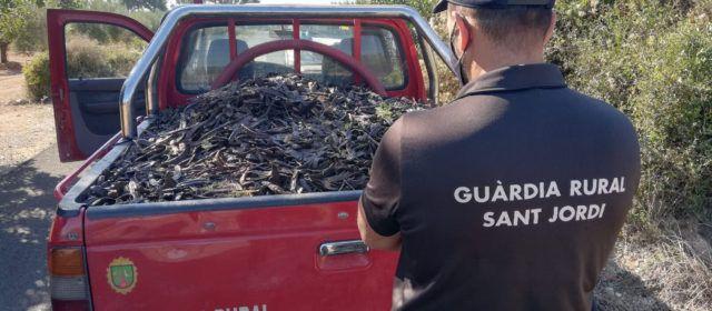 El Ayuntamiento de Sant Jordi colabora en la prevención de robos de algarrobas tras haberse multiplicado los robos