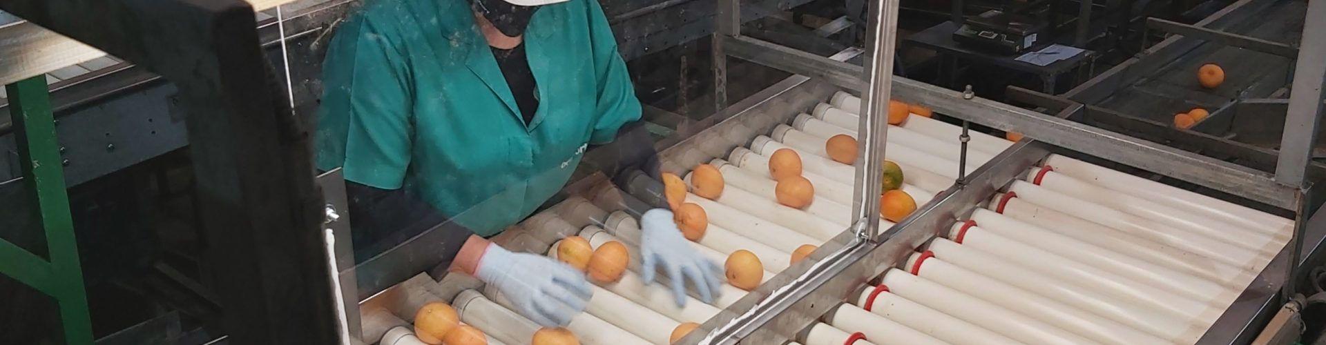 La Cooperativa Agrícola de Benicarló prevé comercializar casi 50.000 toneladas de cítricos de calidad y seguros