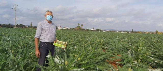 Nueva campaña con buenas perspectivas de la Carxofa de Benicarló denominación de origen