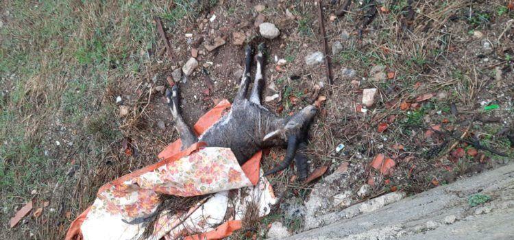 Fotos: una altra cabra morta a Vallibona