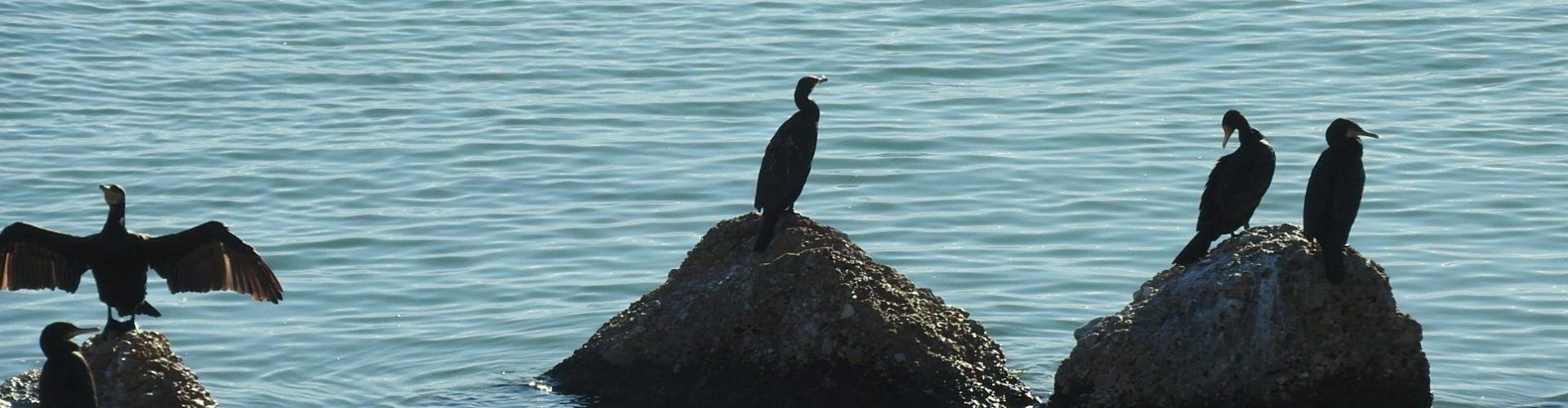 Fotos: La fauna del Cervol, a Vinaròs, ara amb corbs marins