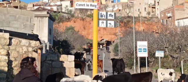 Vídeo i fotos: Transhumància, de Fortanete a la Sénia, passant per Xert i Canet