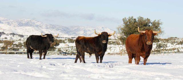 La pandemia y Filomena: la tormenta perfecta para los ganaderos