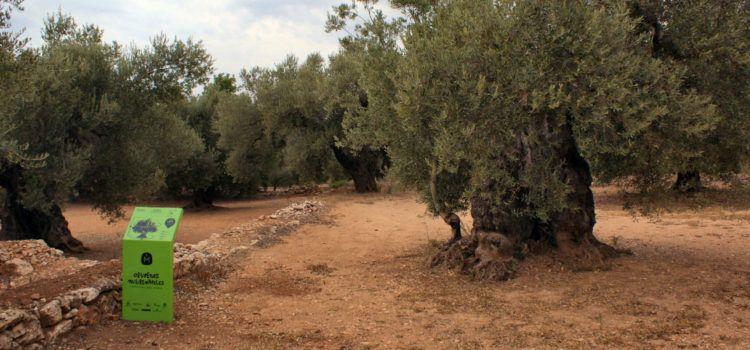 Les oliveres monumentals s'haurien de potegir el 2021