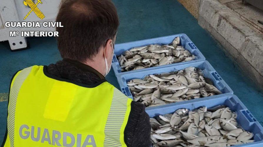 Aprehendidos 33,5 kg de dorada de talla antirreglamentaria en Vinaròs
