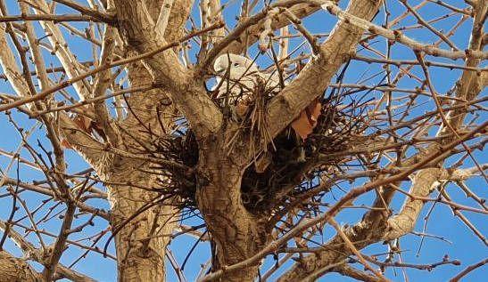 Fotos: tòrtores covant als arbres urbans de Vinaròs