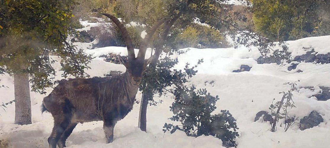 La sarna se expande entre las cabras montesas de la Tinença de Benifassà