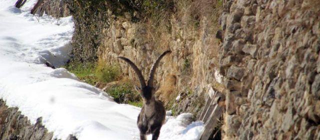 Los cazadores advierten que las medidas de Conselleria no logran controlar la sarna de las cabras hispánicas