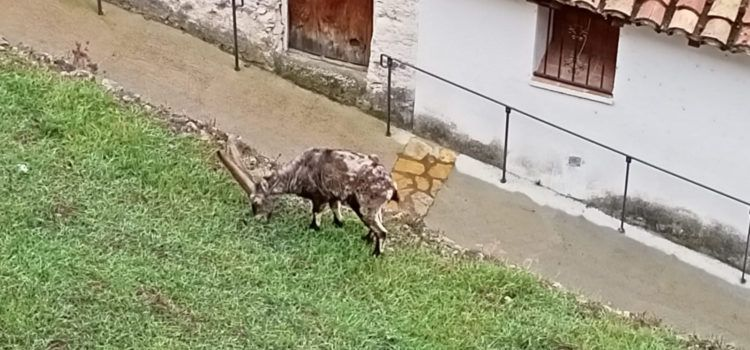 En Els Ports y la Tinença de Benifassà apenas quedan hembras de cabras hispánicas