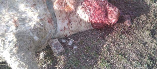 AVA-ASAJA reclama medidas urgentes tras tres ataques de buitres a vacas vivas en Castellón