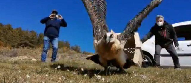 Alliberen al Parc Natural de la Tinença de Benifassà un trencalòs recuperat