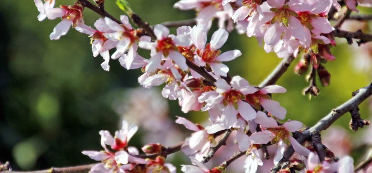 Ben Vist: La flor de l'ametler