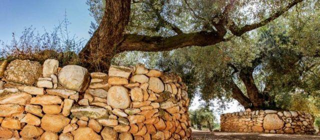 Disponibles los detalles de la práctica del cultivo de olivos centenarios de Sénia en España