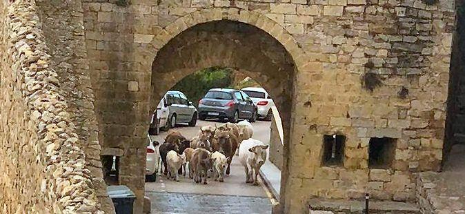 """Vacas """"excursionistas"""" en Morella"""