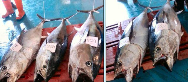 Fotos: Una altra bona captura de tonyines a Vinaròs