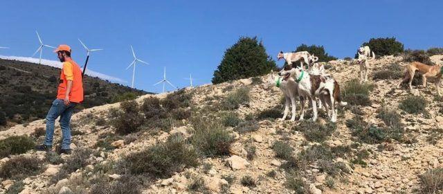 Sigue el avance sin control de la afección de la sarna en las cabras hispànicas