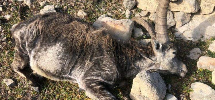 Los cazadores exigen más medidas a la Conselleria para combatir la sarna de las cabras hispánicas