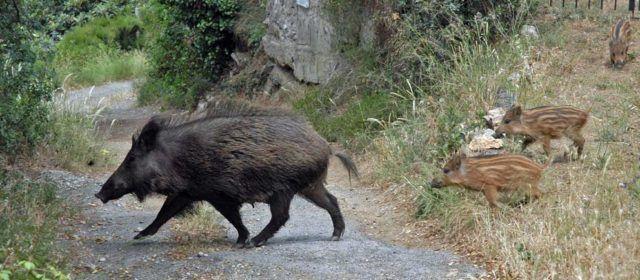 L'Ajuntament d'Alcalà-Alcossebredemana accions per a pal·liar la sobrepoblació de senglars i conills